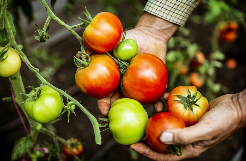 Thumbnail for How To Grow Tomatoes Properly, According to a Gardening Expert